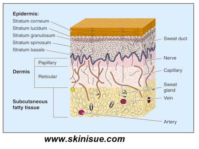 Anatomy of Normal Skin
