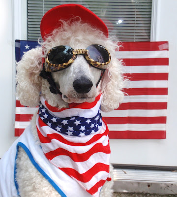 #Standardpoodle dressed in red, white, and blue colors wearing a red hat.