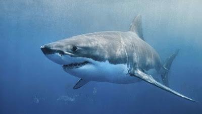¿Sabías que los tiburones no pueden dejar de nadar?