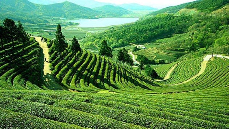 Sukawana Tea Plantation Bandung Tourism West Java Indonesia