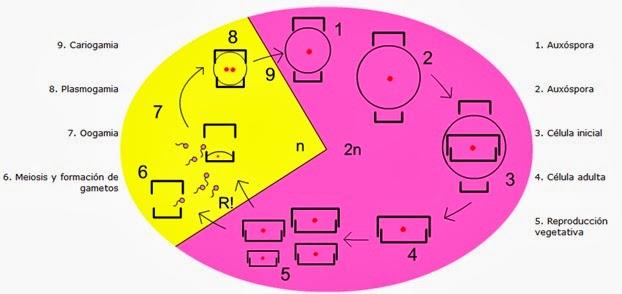 Diatomeas tipo de reproduccion asexual