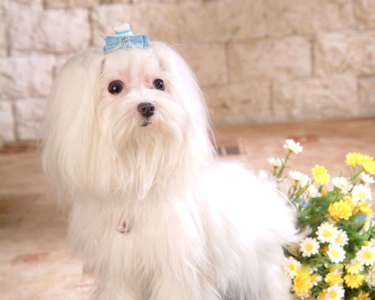 Cute Little Kitten Desktop Wallpapers Cute Pets Maltese Dog Picture Cute Pets