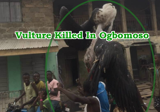 big vulture bird killed ogbomoso