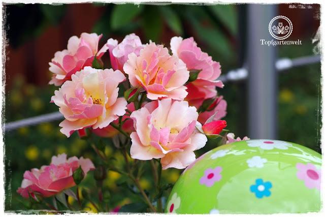 Rosen finden und selbst vermehren - Rose Jazz - Gartenblog Topfgartenwelt