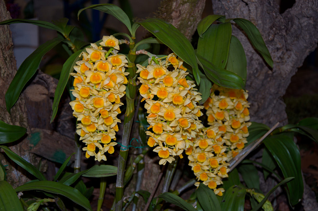 Grow And Care Dendrobium Densiflorum Orchid Pineapple Orchid