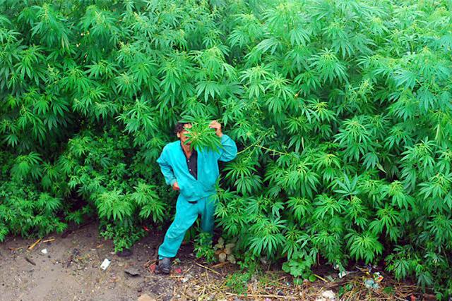 malana weed