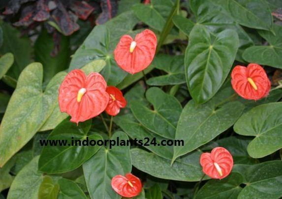 Anthurium Scherzerianum Plant Care
