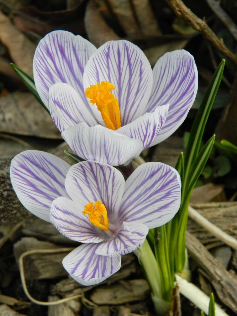 Dutch crocus vernus Pickwick Toronto Botanical Garden by garden muses-not another Toronto gardening blog