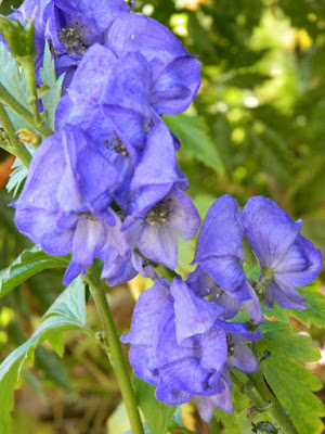 Aconitum x cammarum monkshood autumn flowers Toronto Botanical Garden by garden muses-not another Toronto gardening blog