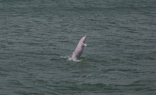 Chinese white dolphin, Hong Kong, dolphins