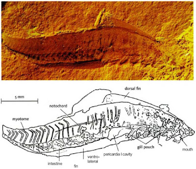 cambrian fish