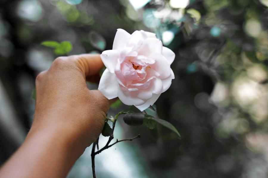rose amsterdam