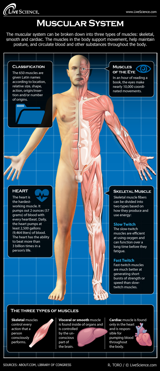 Diagram of the Human Muscular System (Infographic)