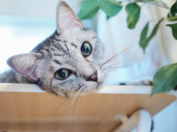 丸い目でこっちを見ているサバトラ猫