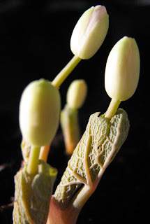 Sanguinaria canadensis bud white showing