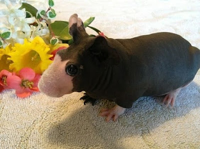 Guinea Pig with almost no hair