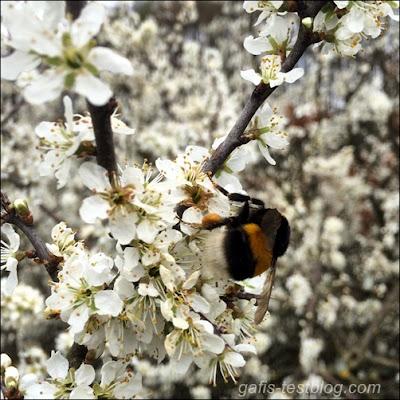 Hummel beim Blütenstaub sammeln