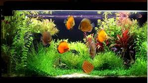 Mengenali Penyakit Discus parasit ikan hias