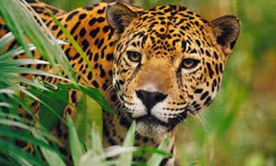 Gambar Fauna Harimau Sumatera Wallpaper HD