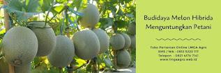 budidaya melon,tanaman melon,melon action 434,benih melon,lmga agro