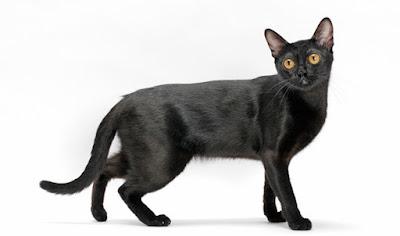 Zeki Kedi Irkları