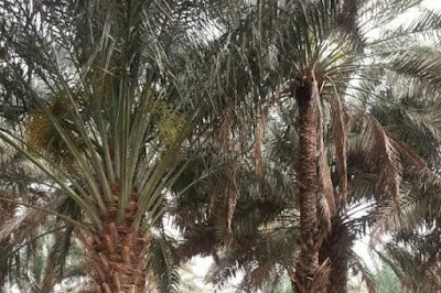 Cerita Kurma menjelang Ramadhan: Kenali Tamar sebelum membeli