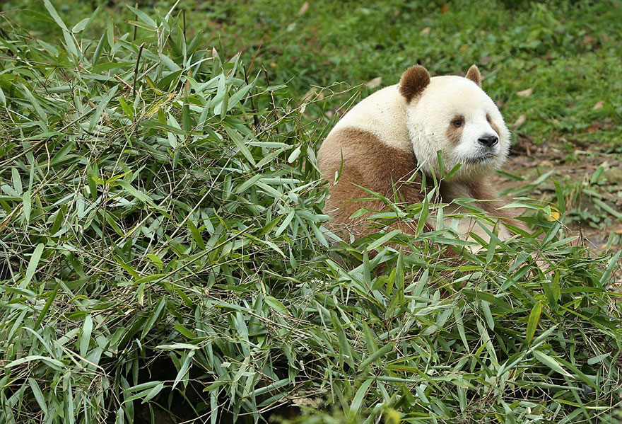 The World's Only Brown Panda Who Was Abandoned As A Baby, Finally Finds Happiness - Most likely it's due to something in his genes, and scientists can't wait to find out what it is