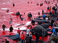 Warga di pulau ini bunuh ribuan ikan paus hingga lautan berwarna merah darah