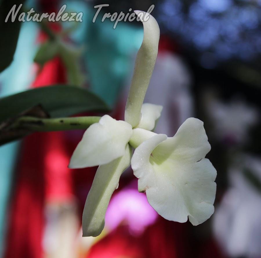 Vista lateral de la flor de la orquídea Rhyncholaelia glauca (antes Brassavola glauca)