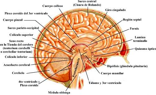 Anatomia y fisiologia del cerebro - ATENCION AL PACIENTE EN ESTADO ...