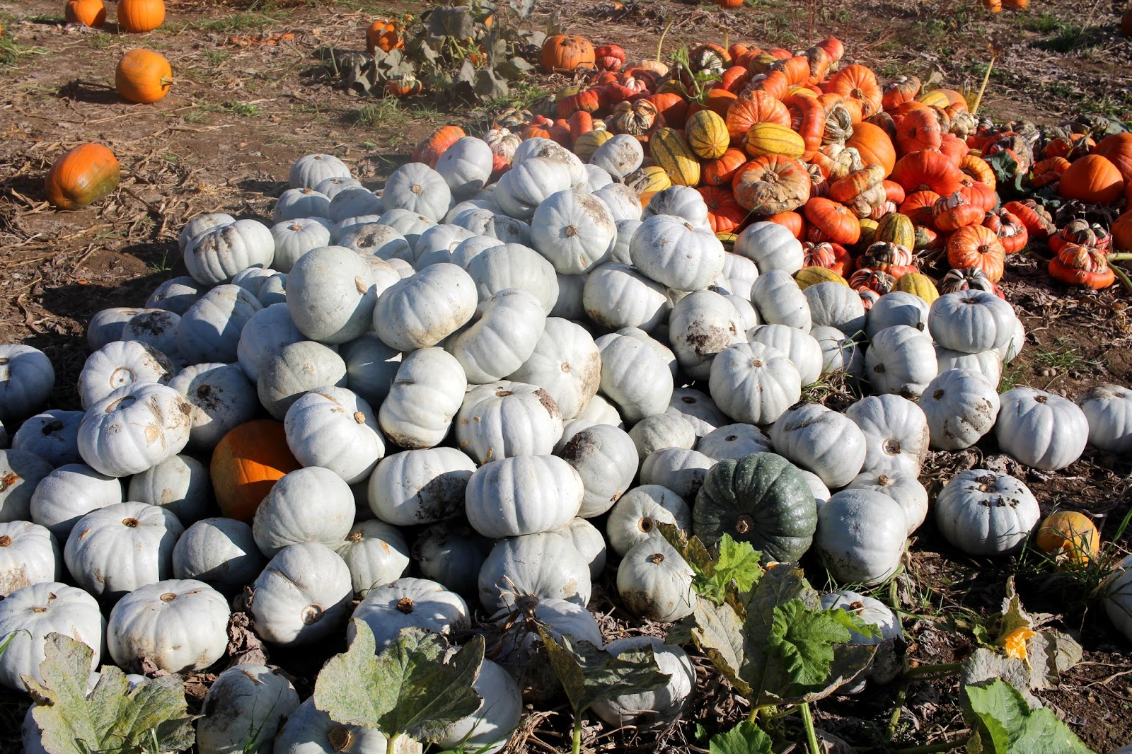 essex foxes farm produce pumpkin patch