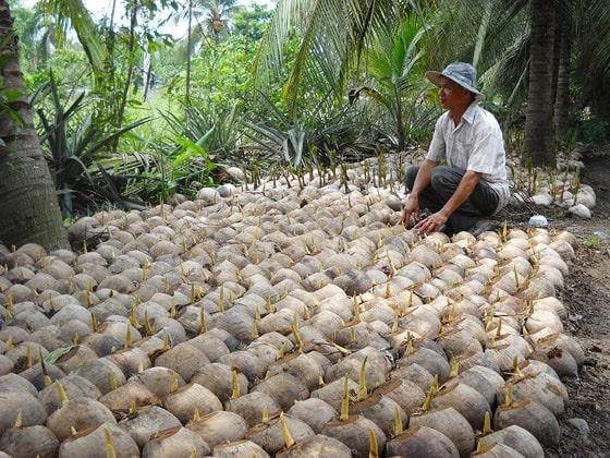 Bến Tre: Nông dân thu lãi cao từ giống dừa thấp