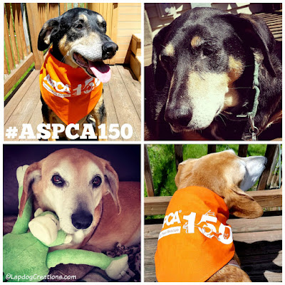 Teutul & Sophie are both proud #RescueDogs and wish a Happy 150th Anniversary to the ASPCA! #ASPCA150 #RescueDog #SeniorDogs #AdoptDontShop #LapdogCreations ©LapdogCreations