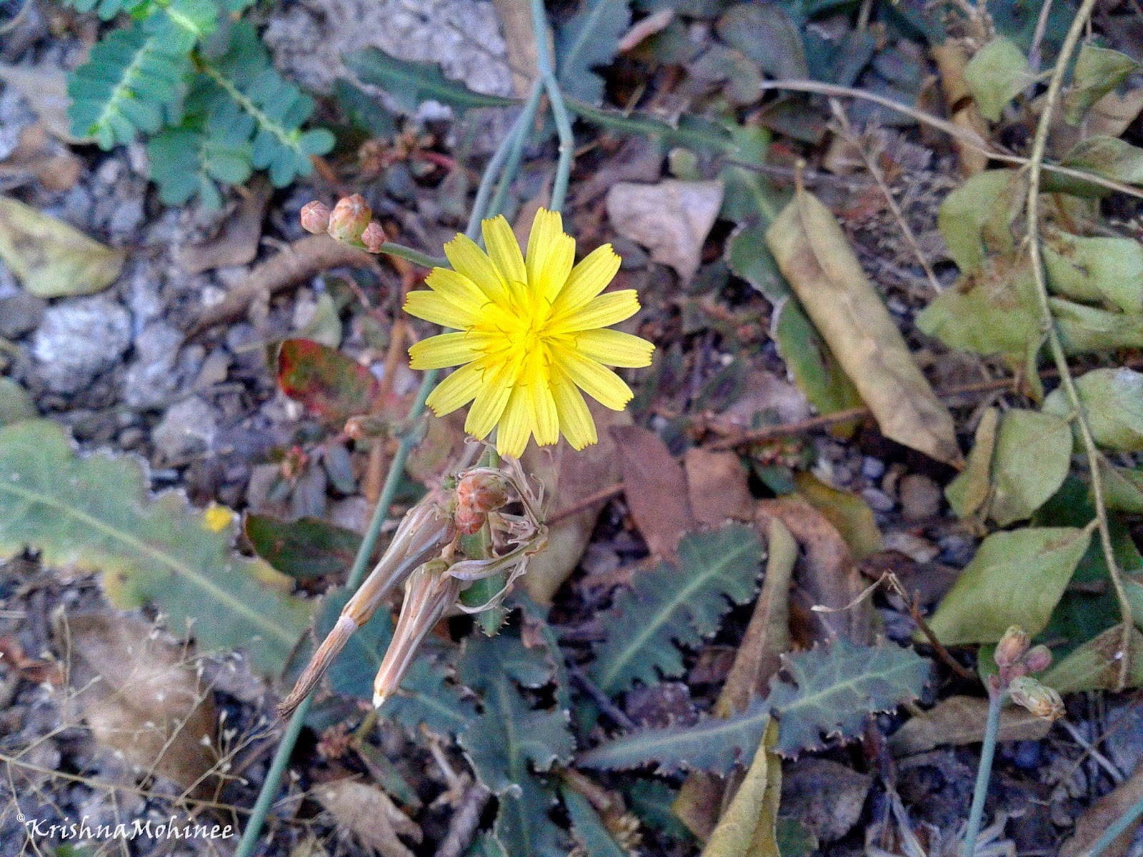Image: Yellow wild flower