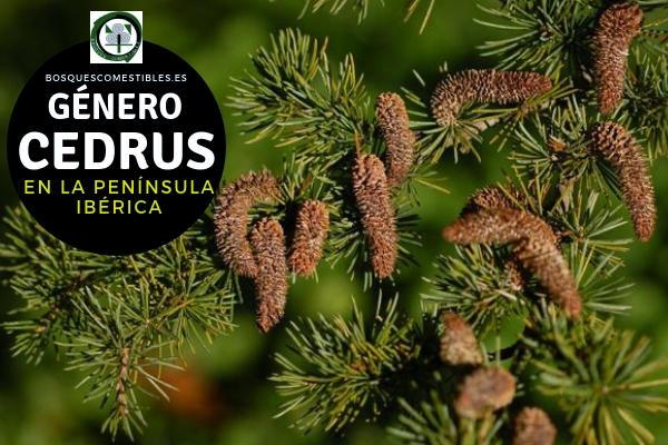 Lista del Género Cedrus, familia Pinaceae en la Península Ibérica