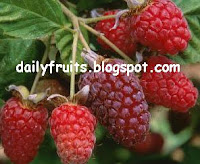 loganberry, fruits and  health, dailyfruits.blogspot.com