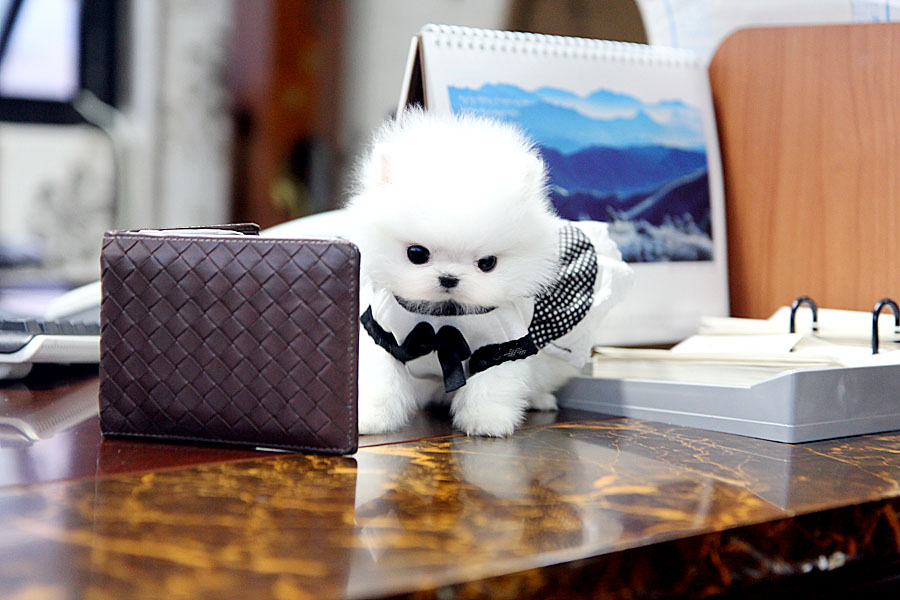 Teacup Puppy Teacup Puppy For Sale White Teacup Pomeranian Soul
