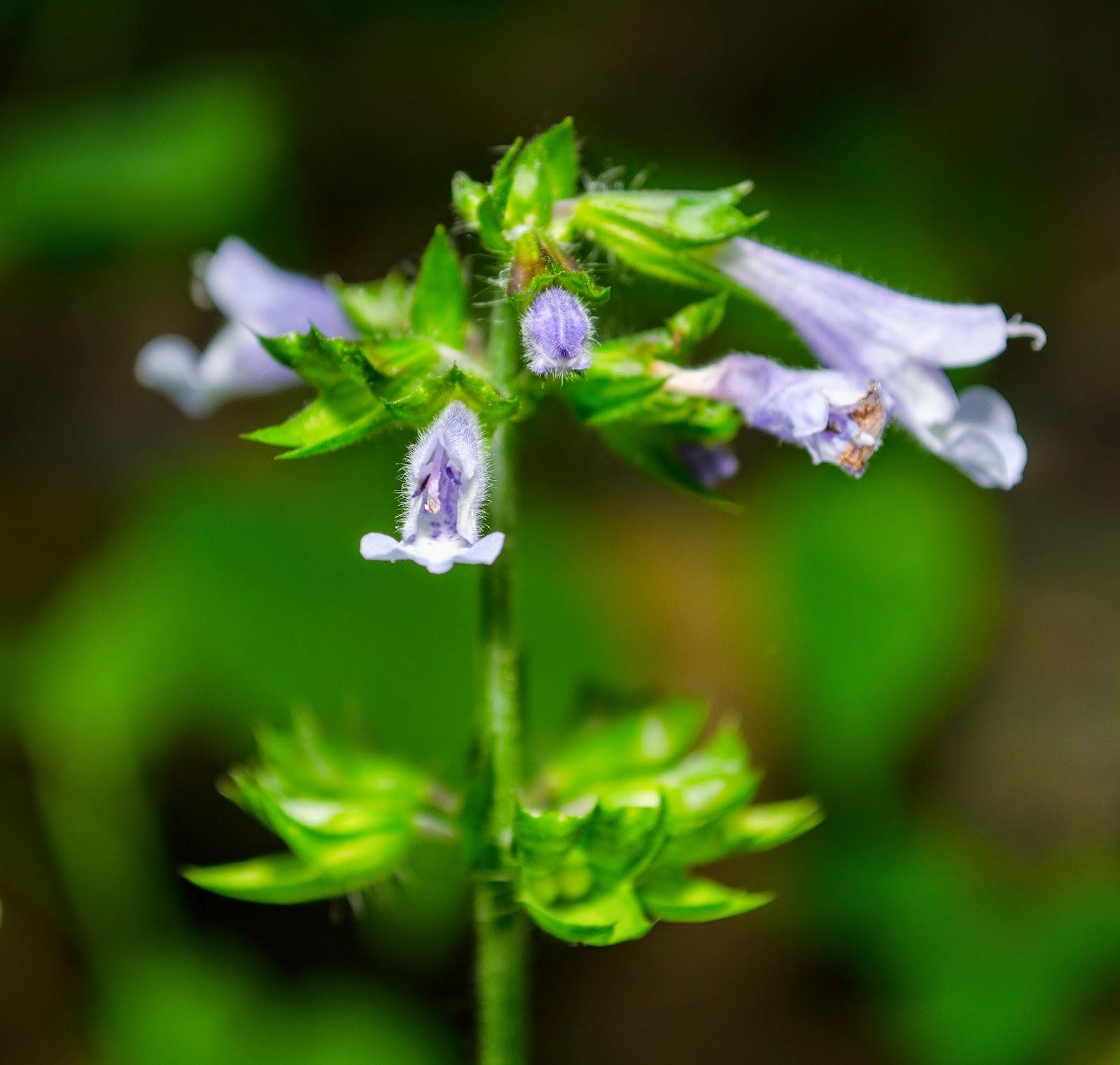 Lyre-Leaf Sage, Salvia lyrata
