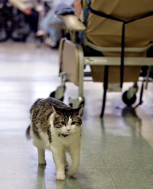 gato oscar sabe quem vai morrer