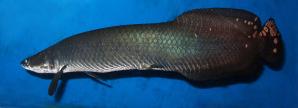 Jenis Ikan Ikan Arwana arapaima