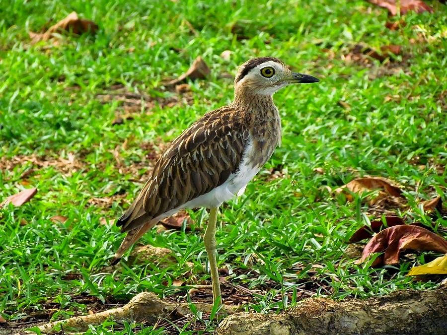 Double striped thick knee
