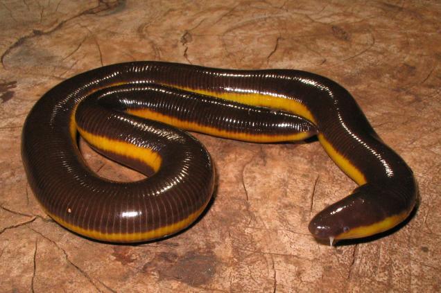 Amphibians: Ichthyophis davidi