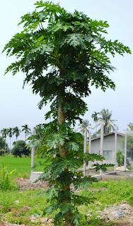 daun betik , Carica papaya Linn