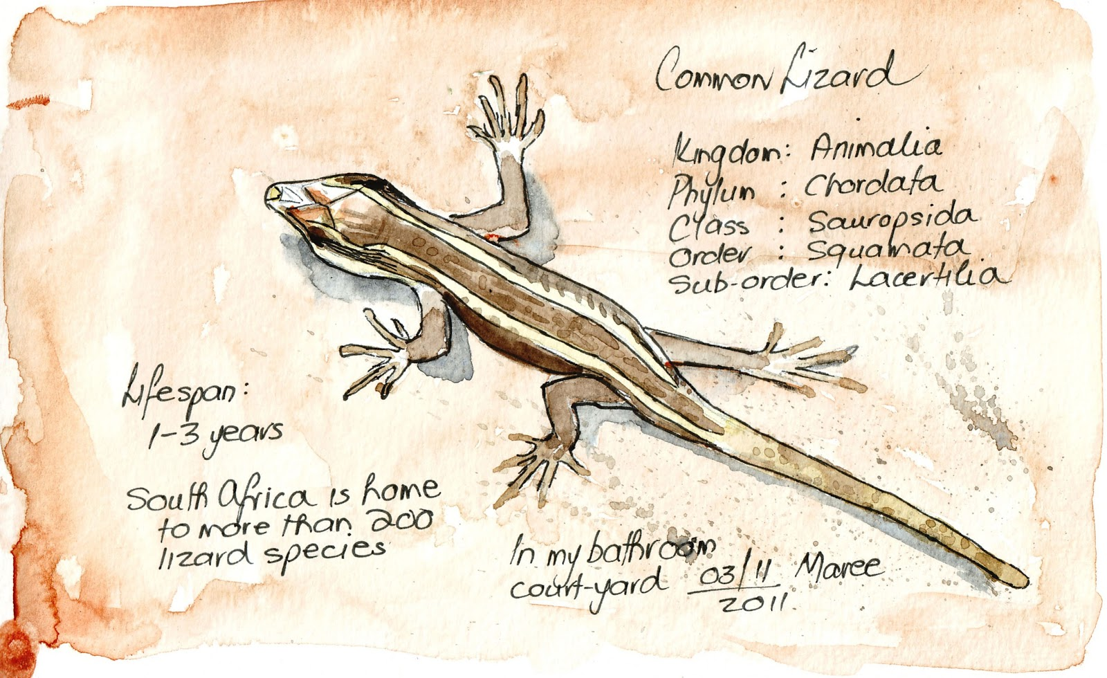 Labelled Diagram Of Agama Lizard L14 Plug Wiring Hedgie 39s Nature Journal My Common Lizards