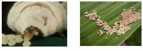 Production of Silk Fibre