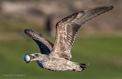 Seagull  Milnerton Lagoon / Woodbridge Island