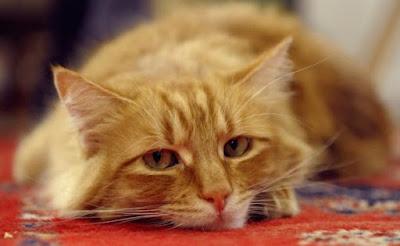7 Tanda Kucing Peliharaan Anda Sudah Bosan Hidup