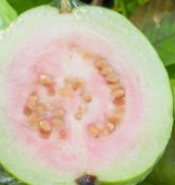 Storage of Guavas (Amrood) Fruit