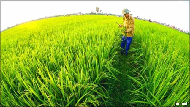 Cánh đồng lúa và người nông dân Thái Bình