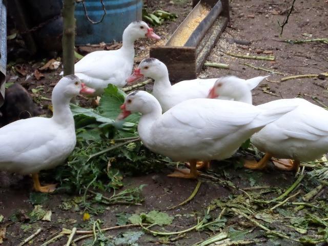 Resultado de imagem para criação de patos